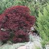 Euphorbia cotinifolia