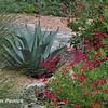 Salvia greggii 'Red'