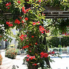 Distictis 'Blood Red Trumpet Vine'