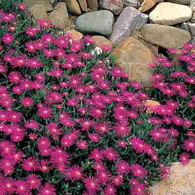 Lampranthus ssp.