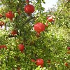 Pomegranate 'Wonderful'