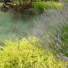Coleonema pulchellum 'Sunset Gold'