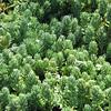 Sedum rupestre (S. reflexum)
