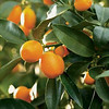 Kumquat - fruit