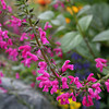 Salvia chiapensis - flower