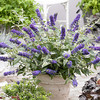 Buddleja 'Blue Chip' (dwarf)