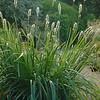 Sesleria autumnalis 'Greenlee'