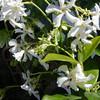 Trachelospermum jasminoides - flower