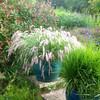 Pennisetum orientale Potted