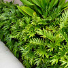 Philodendron Xanadu™