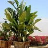 Strelitzia nicolai (nursery container)