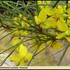 Parkinsonia aculeata - flowers