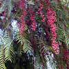 Schinus molle - fruit