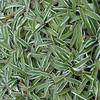Dymondia margaretae - foliage