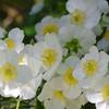 Carpenteria californica - flower