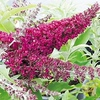 Buddleja 'Buzz' (dwarf) - flower