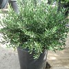 Olea europea 'Little Ollie'
