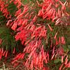 Russelia equisetiformis - flower