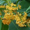 Osmanthus fragrans_Flower