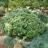 Pittosporum crassifolium 'Compactum'