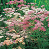 Achillea - mixed colors