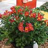 Alstroemeria 'Scarlet Flower'