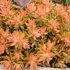 Sedum nussbaumerianum 'Coppertone'
