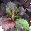 Synadenium granite rubra - foliage