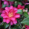 Camellia sasanqua 'Shishi Gashira'