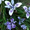 Iris PCH