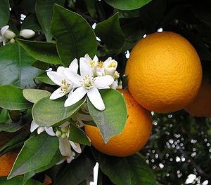 Washington Navel Sweet Orange