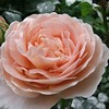Tamora flower