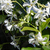 White star Jasmine - Flowers<br /> Grows in full sun to part shade<br /> Non invasive vine <br /> Also makes nice ground cover<br /> HIghly fragrant Bloms Spring through Summer