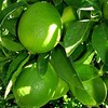 Citrus Lime 'Bearss'
