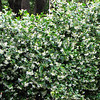 White star Jasmine<br /> Grows in full sun to part shade<br /> Non invasive vine <br /> Also makes nice ground cover<br /> HIghly fragrant Bloms Spring through Summer