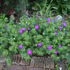 Geranium sanguineum 'Johnson's Blue'