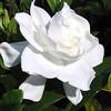 Gardenia jasminoidies 'Veitchii' - flower