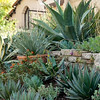 Broken Concrete Wall w/ Agaves