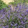 Salvia clevelandii 'Winifred Gillman'