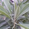 Salvia apiana - foliage