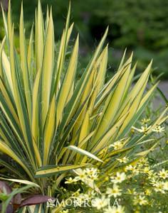 Yucca flacida 'Gold Sword'
