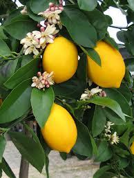 Lemon 'Meyer' - fruit