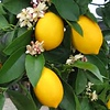 Lemon 'Meyer' - fruit