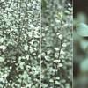 Pittosporum tenuifolium 'Silver Sheen' - foliage