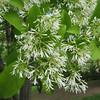Chionanthus retusus - flower