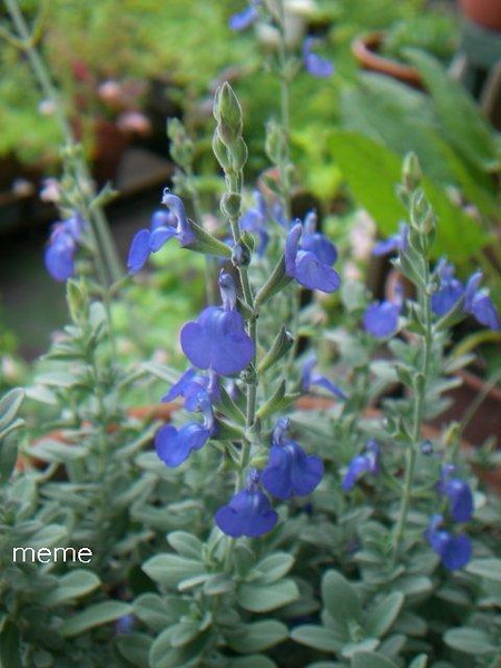 Salvia chamaedryoides - flower