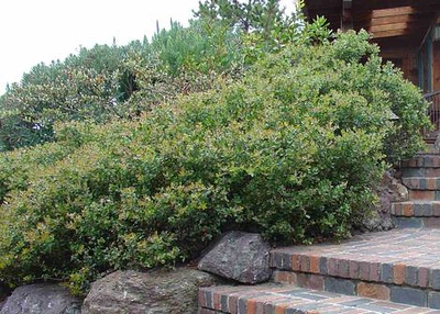 Arctostaphylos 'Sunset'