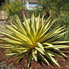 Yucca 'Bright Star'