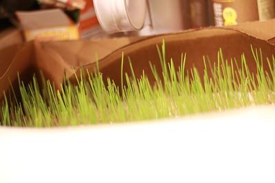 wheat grass
