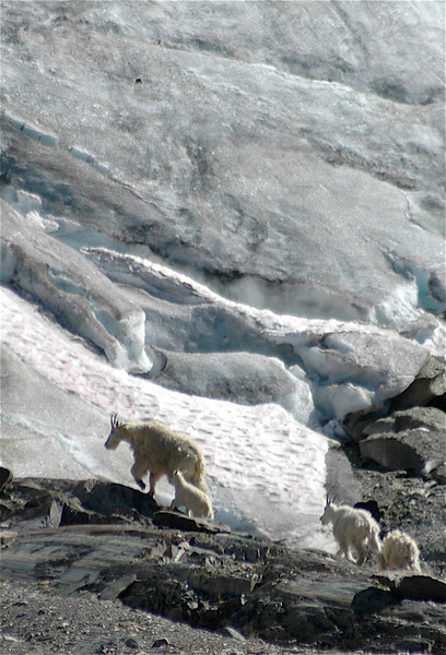Mountain Goat with new family members in the Malachite.